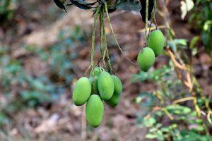 Mengapa Petani Buah Memanen Buah Ketika Belum Matang