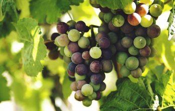 Mengapa Petani Anggur Memotong Ujung Daun