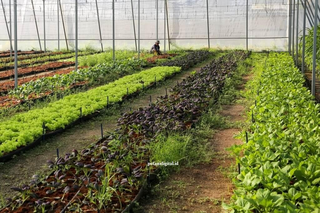 Tanaman Sayur - Olerikultura