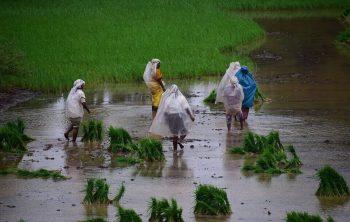 Mengapa Petani Menanam Padi Pada Musim Hujan