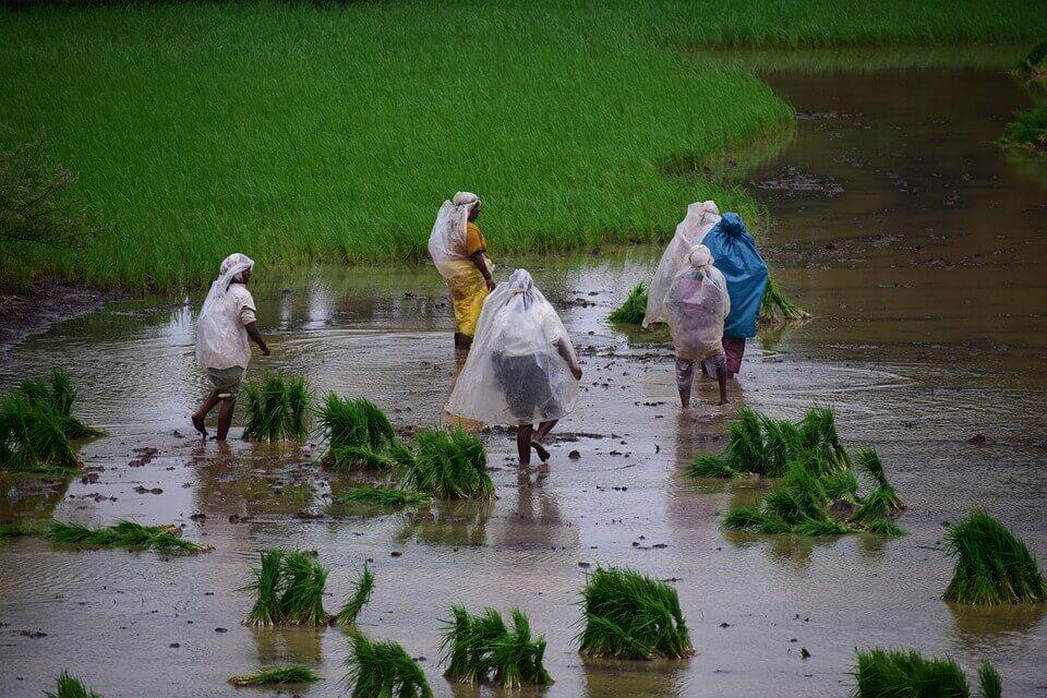Gambar Petani Menanam Padi Pada Musim Hujan