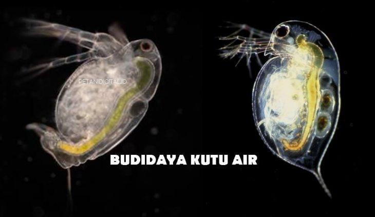 Budidaya Kutu Air