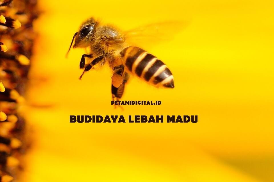 Budidaya Lebah Madu