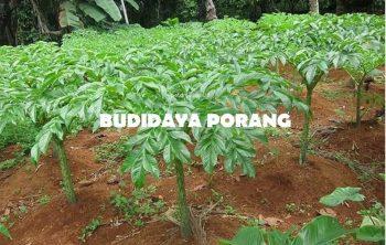 Budidaya Porang