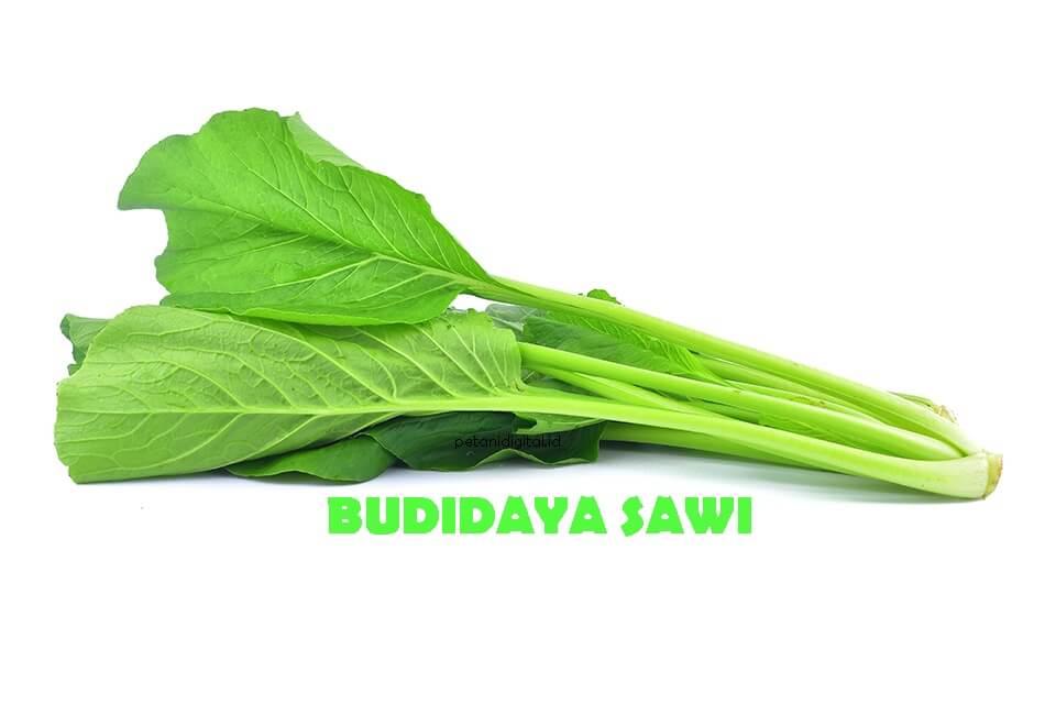 Budidaya Sawi