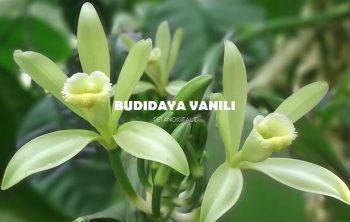 Budidaya Vanili
