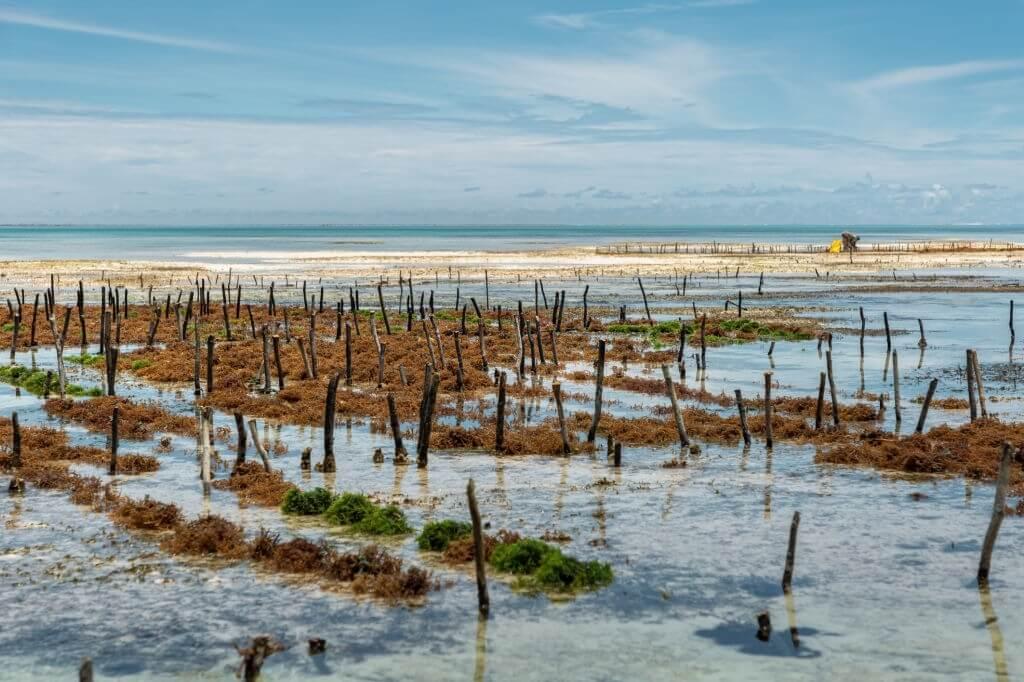 Contoh Tanaman Akuakultur - Rumput Laut