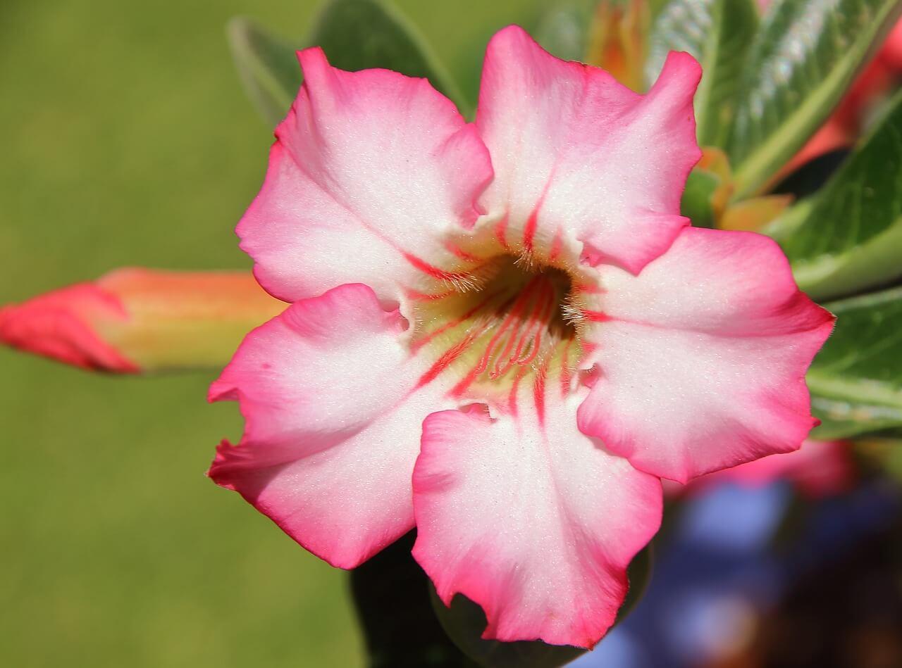 Adenium - Tanaman Hias Bunga