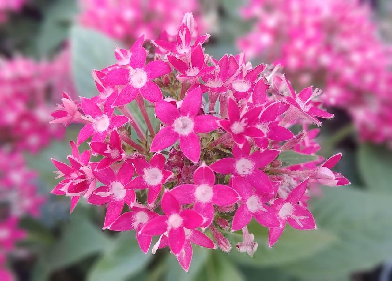 Bunga Pentas - Tanaman Hias Outdoor