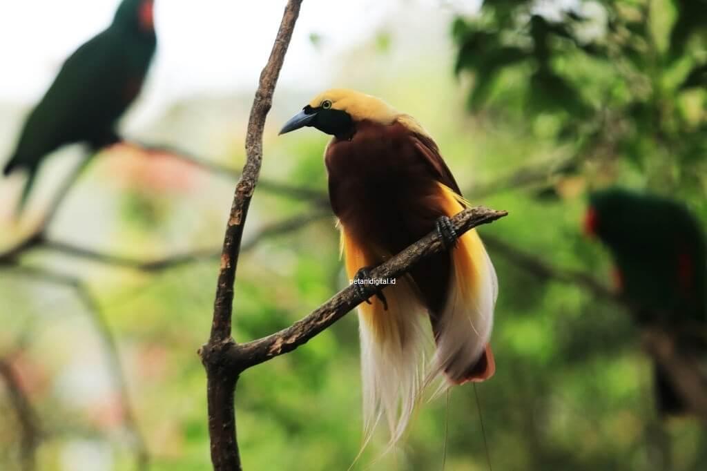 Burung Cendrawasih - Hewan Langka Yang Dilindungi