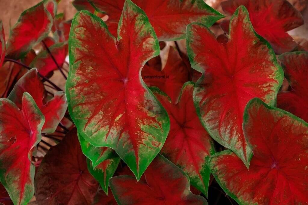 Caladium Red Stardust - Tanaman Hias Outdoor