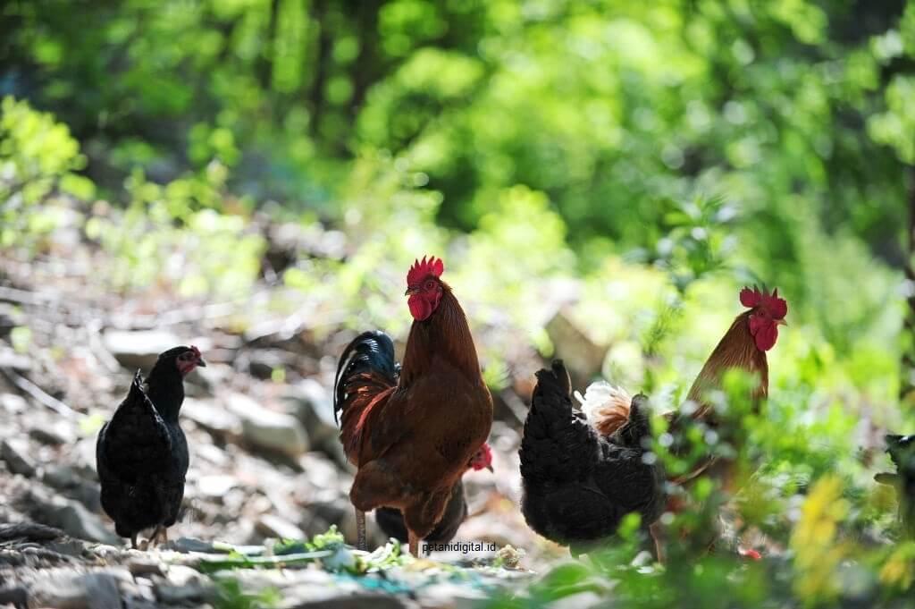 Cara Ternak Ayam Kampung Yang Baik