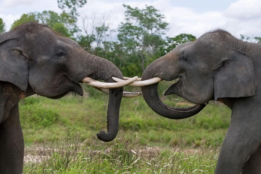 Gajah Sumatera - Hewan Langka Yang Dilindungi
