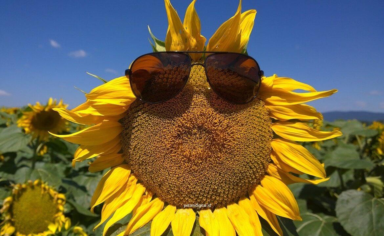 Gambar Bunga Matahari Keren