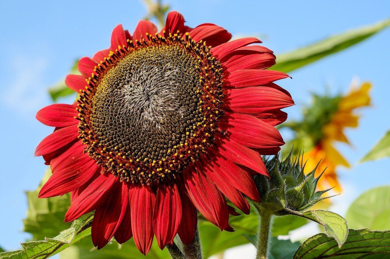Gambar Bunga Matahari Merah