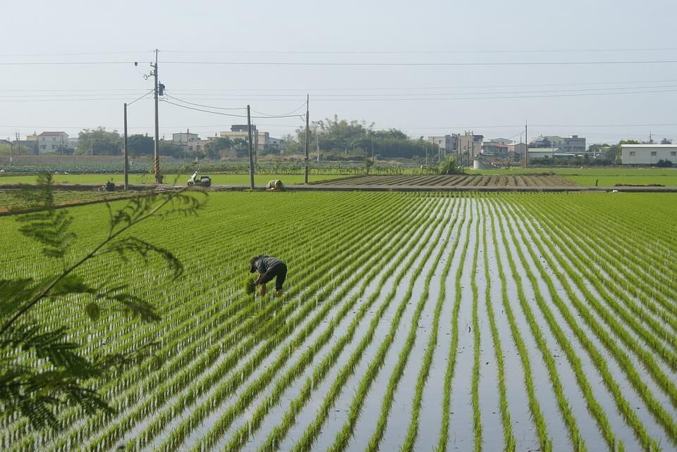 Gambar Petani Menanam Padi di Sawah