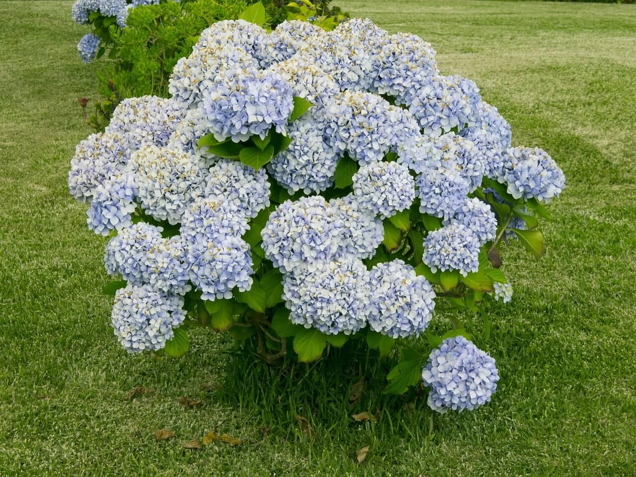 Hortensia - Tanaman Hias Bunga