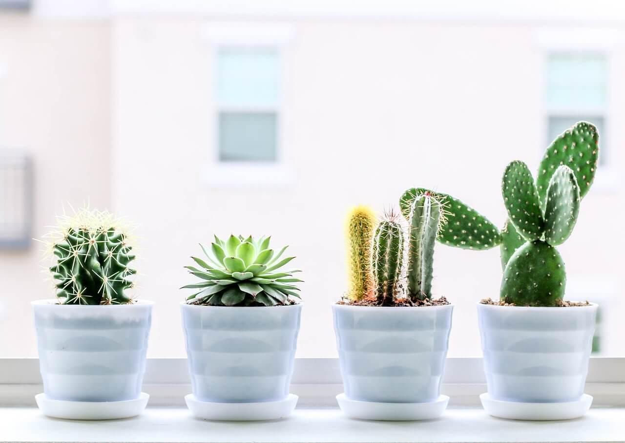 Kaktus - Tanaman Hias Outdoor
