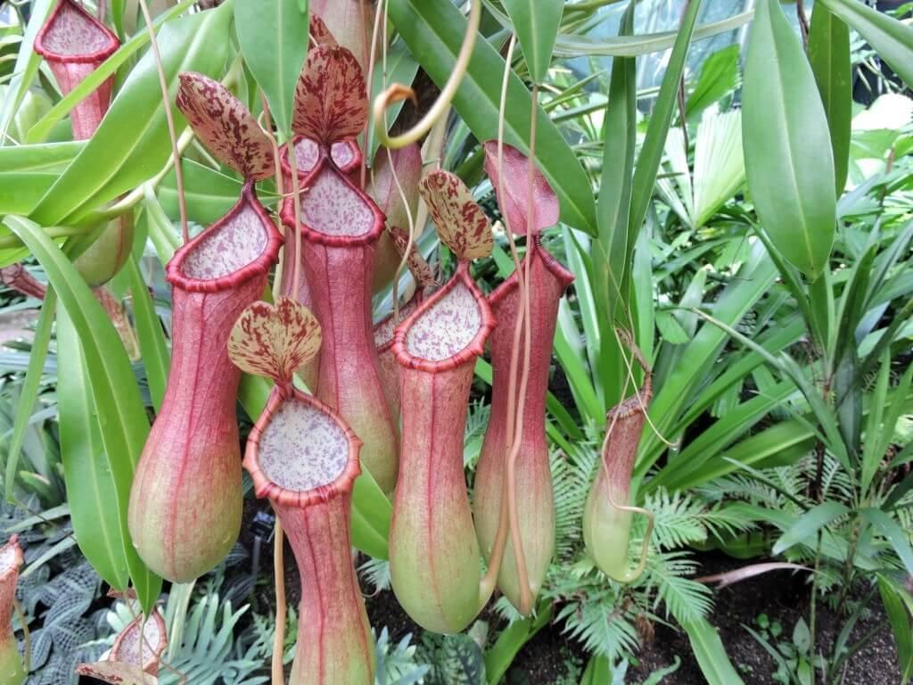 Kantong Semar - Tumbuhan Langka di Indonesia