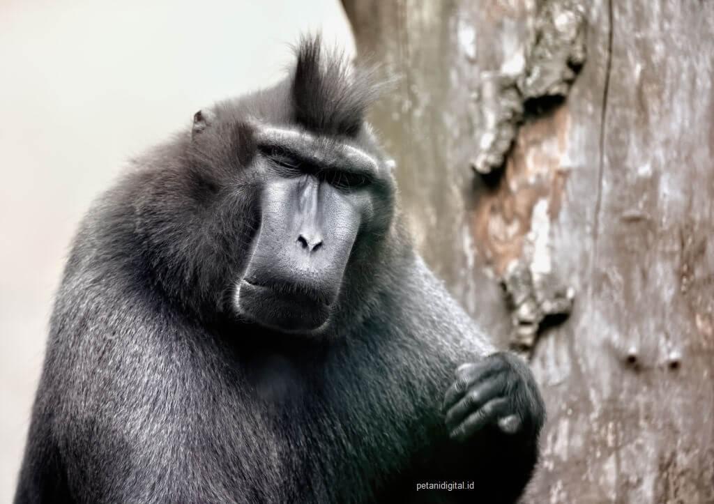 Monyet Wolai - Hewan Langka di Indonesia