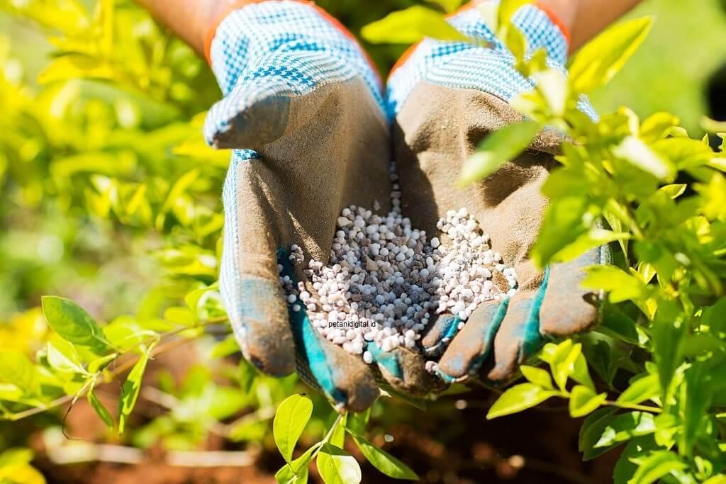 Pemberian Pupuk Tanaman Bunga