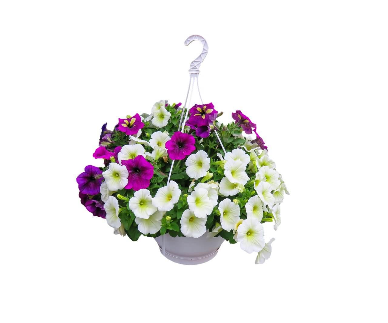 Petunia - Tanaman Hias Gantung
