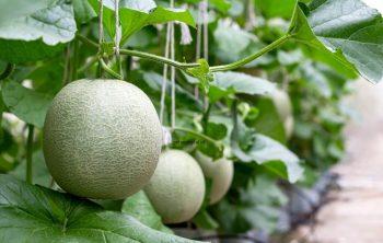 Budidaya Melon