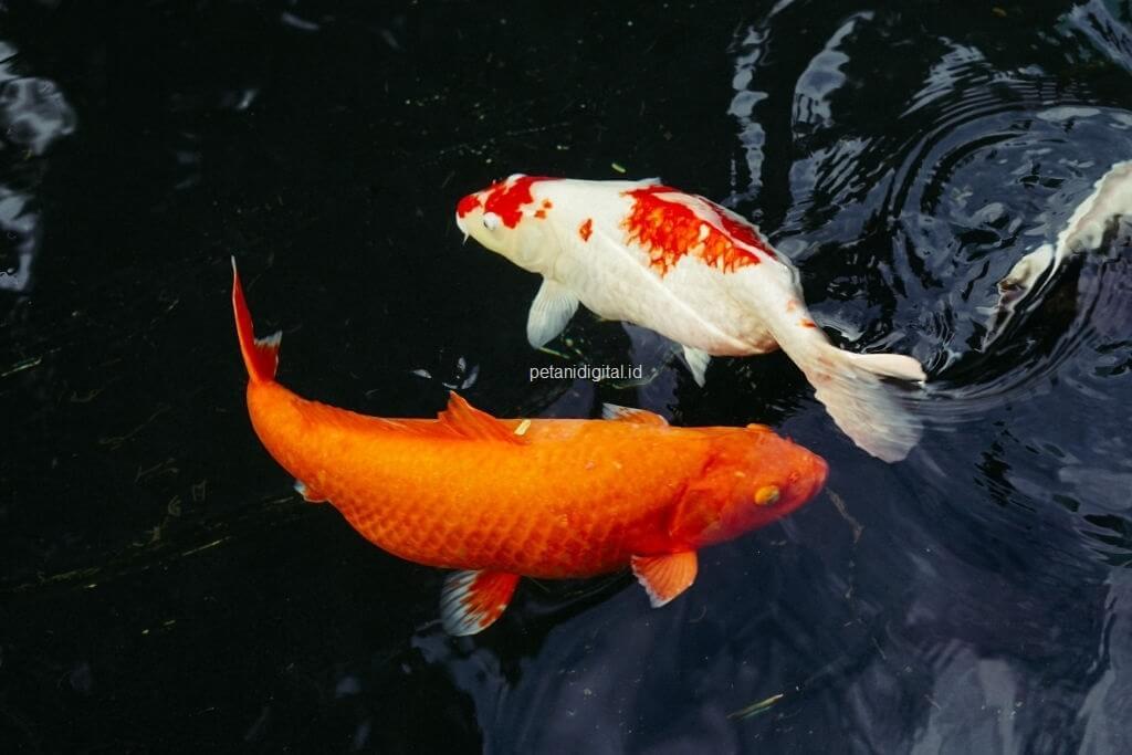 Cara Budidaya Ikan Koi