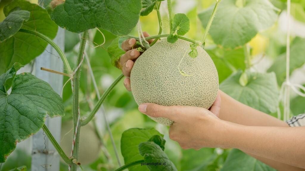 Panen Melon