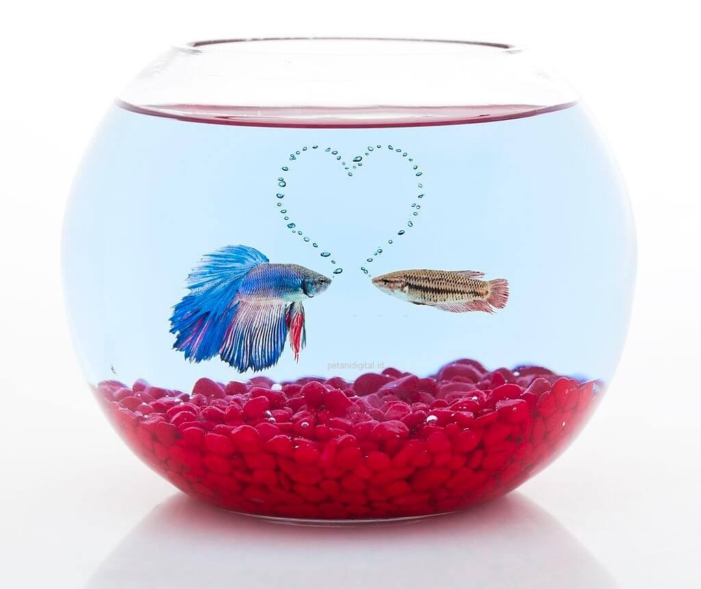 Pemijahan Ikan Cupang