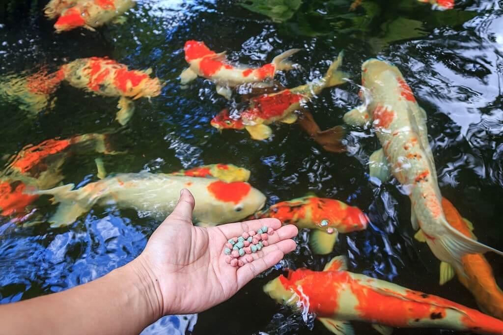Perawatan Ikan Koi
