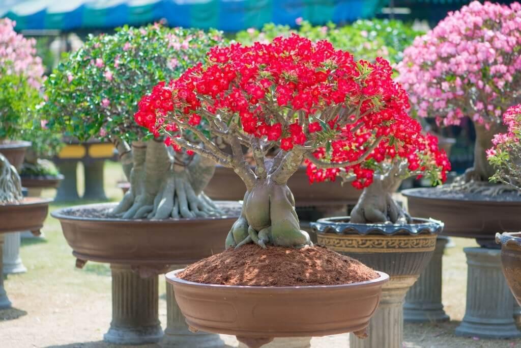 Tanaman Hias Akar - Kamboja Jepang Adenium