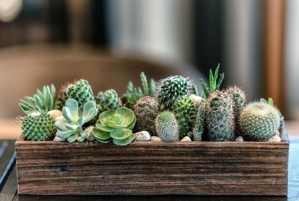 Tanaman Hias Batang - Kaktus