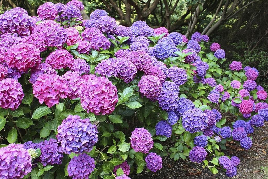 Tanaman Hias Bunga - Hortensia