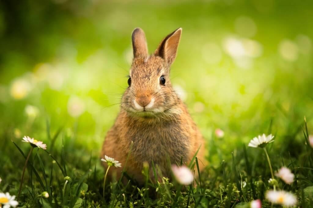 Budidaya Kelinci